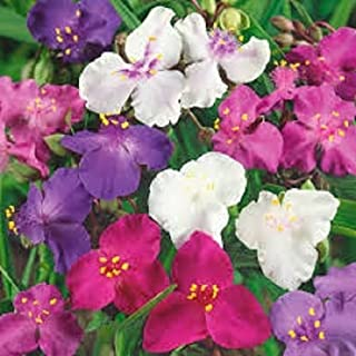 pakuda 30+ Tradescantia Spiderwort Flower Seeds Mix/Perennial