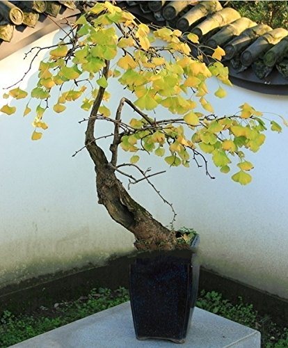 Pas chers Plantes Bonsai Magical Ancient Feuillage, jaune d'or en pot, Ginkgo Biloba Graines 5 Piece