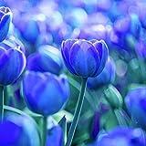 Cossll498 100pcs variété tulipe graines belle fleur florale maison décoration de plantes de jardin (3pcs bulbes de tulipes bleu pur)