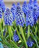 An early Blooming varietà con fiori blu, a forma di campana chiaro in grape-like clusters. Altezza: 3–10,2cm Bloom Time: aprile–giugno Pianta in una posizione soleggiata o mezz' ombra.