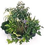 Plantas purificadoras de aire Maxi Set 10 mejores variedades, jarrón de cerámica, plantas reales