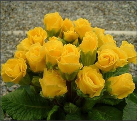 Rose graines Primula 50pcs rares graines de fleurs de bonsaïs d'intérieur pétales doubles graines Primrose de plantes en pot en plein air pour le jardin de la maison 5