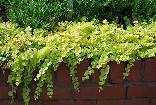 Perennial Farm Marketplace Lysimachia nummularia 'Aurea' (Golden Creeping Jenny)...