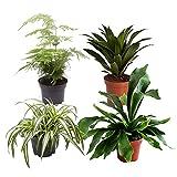 Mix di 4 piante verdi da interni GORGEOUS GREEN   Clorofito, Platicerio, Asparago, Dracaena   Piante di tendenza   Altezza 24-36cm   Vaso Ø 13cm