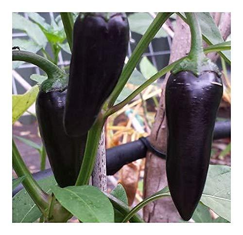 Chili Black Hungarian - Piment Black Hungarian - 10 graines