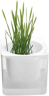 Balai 猫草の種 ねこ草 たね 猫の胃腸消化に役に立つ 増殖スピード速い 無土壌 栽培が簡単 2パック イエロー/ブルー/ホワイト