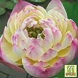 Liveseeds - Ciotola di loto / acqua giglio fiore / bonsai Lotus / stagni / 5 Fresh semi / Rosa e giallo / Due-Colori / Filippine oro Coltivare Difficoltà Grado: Molto Facile Uso: Indoor / Outdoor Tipo: Piante acquatiche Funzione: purificazione dell'a...