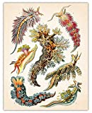 Vintage Sea Slugs Wall Art Print - (11x14) Photo Unframed Make Great Room Wall Decor Gift Idea Under $15