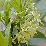 Plant World Seeds - Daphne Pontica Seeds