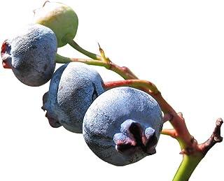 Blueberry 20+ zaden absoluut - winterharde hoge steel
