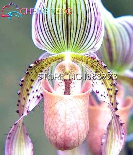 Graines de fleurs de plantes ornementales avancée rares eau orchidée papillon Graines du monde coloré Pots Bonsai Graines Jardin