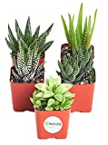"Shop Succulents | Alluring Collection of Live, Hand Selected Variety Pack of Mini 5 Different Aloe Plants in 2"" Grower Pots, Easy to Grow and Hard to Kill"