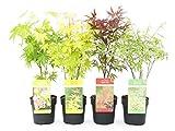 Acero palmato giapponese mix 4 piante diverse in vaso ø13 cm'Acer palmatum'