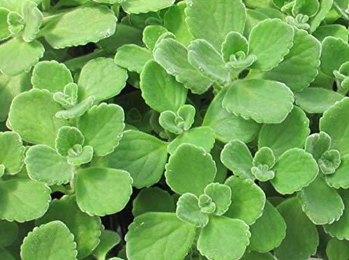Las semillas 100pcs verde orégano cubano mexicana Tomillo india borraja Semillas español tomillo hierba perenne de la planta de jardín Bonsai