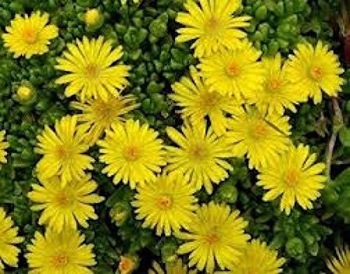 Stauden-Mittagsblume - Delosperma deschampsii