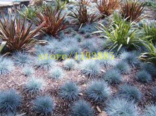 100 graines pcs herbe fétuque violet Fesnea Glauca ornemental herbe Graines rares couverture gourde herbe graines pour le jardin de la maison DIY