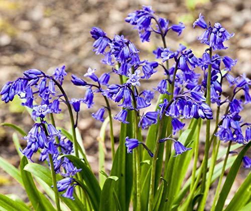 Woodland bulbs® Spring Flowering Bulbs-Snowdrops-Bluebells-Aconites-Daffodils-Wild Garlic-Crocus-Fritillaria-Iris-Anemone-Tulips-Cyclamen-Muscari (Free UK P&P)