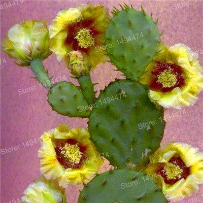 100pcs Big Sale Succulent Plant Graines de Cactus Cactus mixte fleurs ornementales joli jardin Bonsai graines de plantes pour jardin multicolore
