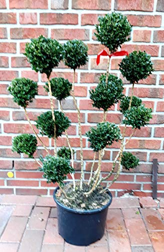 Buchsbaum Bonsai, Buxus PomPon, Höhe: 110-120 cm, Formpflanze + Dünger