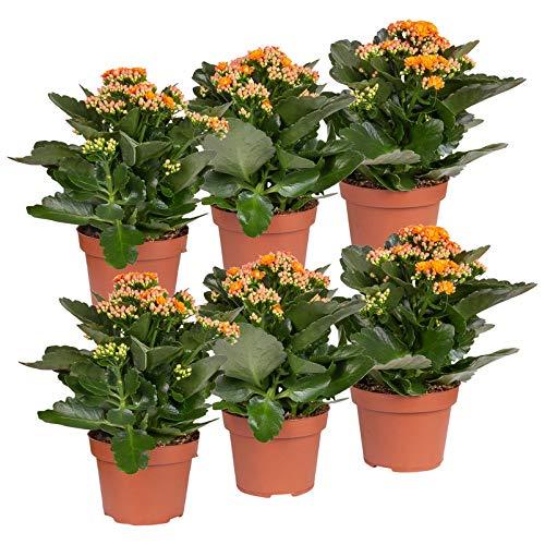 Pflanzen Kölle Flammendes Käthchen 'Calandiva'®, 6er-Set, Kalanchoe blossfeldiana, orange, Gesamthöhe ca. 27,5 cm