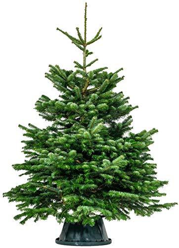 Cheerful Bargains PREMIUM Nordmann Fir Fresh Cut Christmas Tree - Real Live Fresh Christmas Trees Seasonal Xmas Tree Grown in Scotland (5FT 150/180 cm)