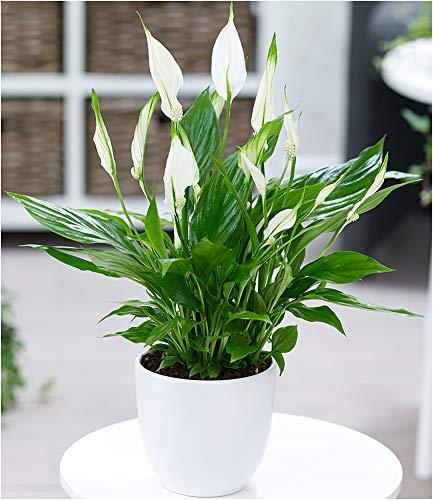 BALDUR Garten Spathiphyllum, 1 Pflanze Luftreinigende Zimmerpflanze Zimmerpflanze Einblatt