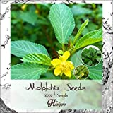 Egyptian Spinach - Jute Leaf Mallow - Saluyot Seeds