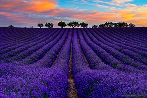English Lavender Seeds Vera Herb Perennial Flowers Seeds - 50g(50000+) Seeds of Planting Outdoor(Lavandula angustifolia Mill) (20g)