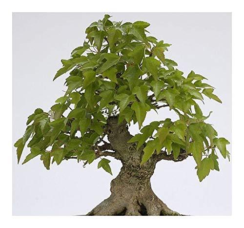 Acer buergerianum - bonsaï - Trident Maple – Maple buerger - 25 graines