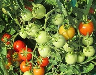 baxter's early bush tomato