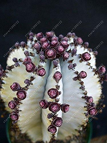100 Pcs/Sac réel Mini Cactus graines, plantes rares Succulent vivaces herbes, graines Bonsai Pot de fleurs, intérieur plante pour jardin 12