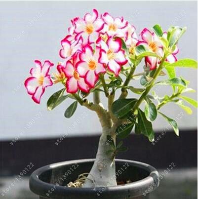 2 pcs / sac Desert Rose graines Adenium obesum graines de semences Bonsai pétales de fleurs doubles plante en pot pour la maison jardin 100% vraie semence