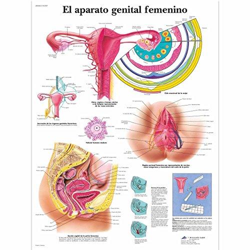 3B Scientific VR3532L Impreso En Papel, el Aparato Genital Femenino