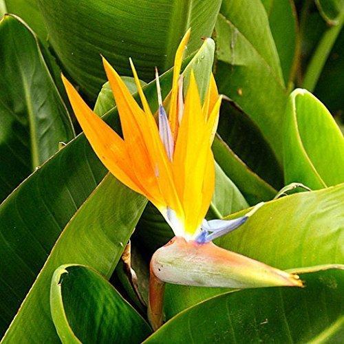 WuWxiuzhzhuo Paquet de 10 graines de fleurs de Strelitzia - Oiseau du Paradis, Décoration tropicale