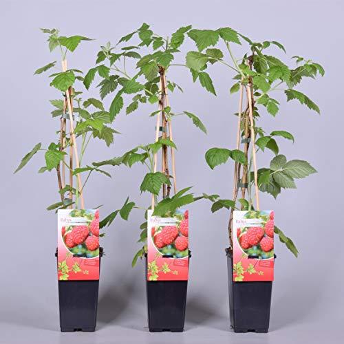 Himbeere Rubus idaeus 'Malling Promise' Beerenobst Gartenpflanze als Busch 40-60cm