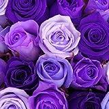 Aimado Seeds Garden-rare 50pcs graines de rosier multicolor La rose(Rosa) Le rosier Tequila arc en ciel/bicolore résistant au froid (SVC031095, Bleu 2)