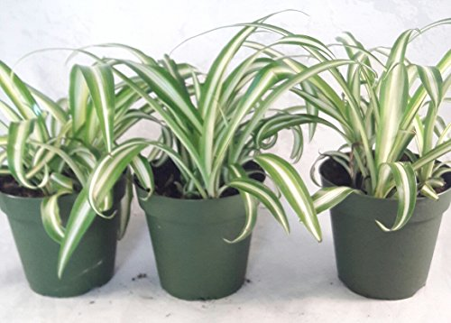 Ocean Spider Plant - 4 Pot 3 Pack for Better Growth - Cleans the Air/Easy to Grow by Jmbamboo