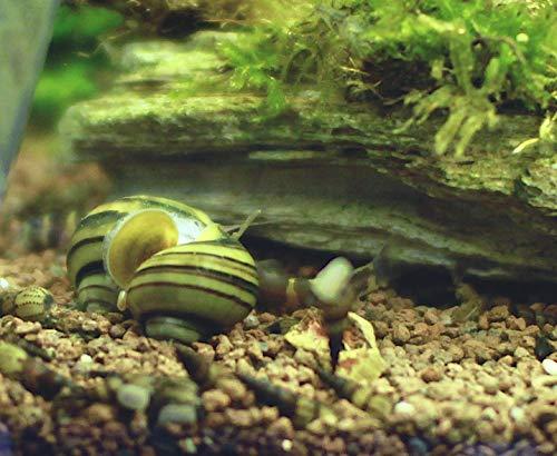 Schnecken Pianoschnecke/Pinselalgen 3er Gruppe + 10g NH Schneckenfeed Algen bekämpfen mit Aquarienschnecke