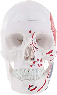MagiDeal Anatomical Human Head Skull Model Lifesize Learning Study