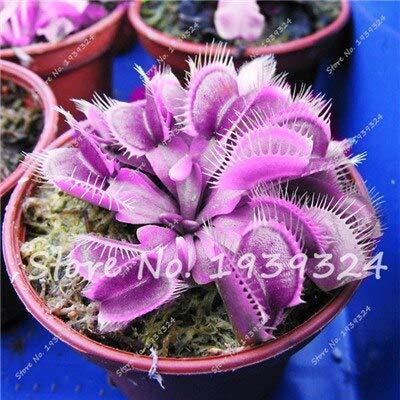 6: 100 Stücke Blau Insektenfressende Pflanze Exotische Samen Importiert Dionaea Muscipula Seltene Venus Fliegenfalle Bonsai Samen Topf Orquideas Para