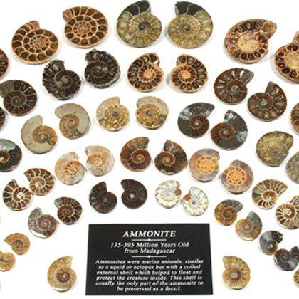 Mini Paire d'ammonites de 30–40 mm