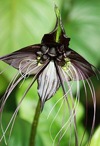 Negros Palo de la Flor, Flor Del Diablo, Flor Del Demonio - 10 Semillas
