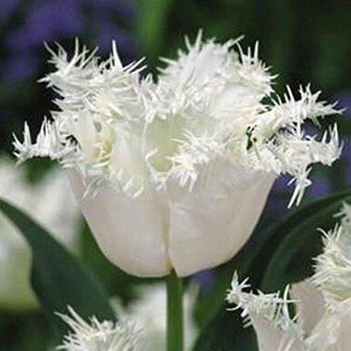 Keptei Samenhaus- 50 Korn Tulpenzwiebeln Blumensamen Tulpenmischung Bunt Hausgarten Pflanzen Bonsai Saatgut winterhart mehrjährig duftend