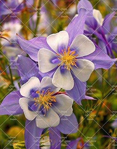 100PCS Double Aquilegia (Columbine) Graines rares Bonsai Graines de fleurs à long Bloom saison plantes vivaces pour jardin 12
