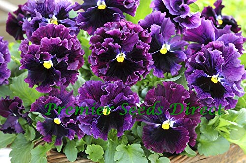 PREMIER SEEDS DIRECT - Pansy Winter Flowering - Frizzle Sizzle F1 - Burgundy - 30 Seeds