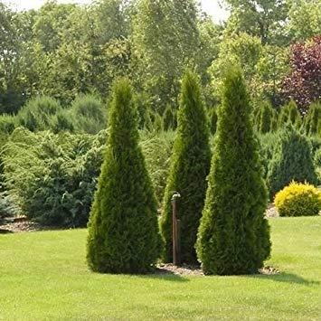 VISA STORE 40 Samen Pyramide Lebensbaum Samen Samen (Thuja occiis)