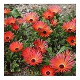 Dorotheanthus or Mesembryanthemum 'Gelato Bright Red' / Livingstone Daisy/PlantGenesis Seeds