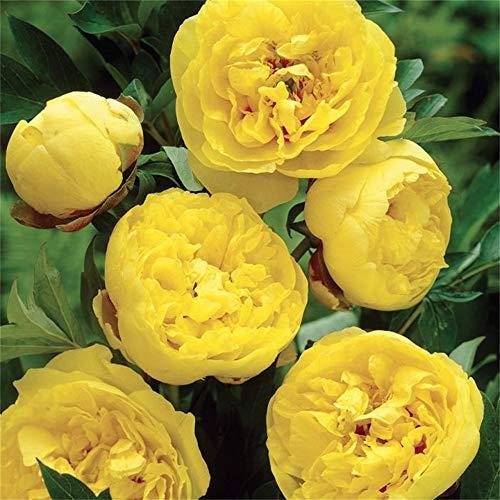 Peony Roots&Stunning Beautiful Outdoor Ornamental Exotic Live Plants,Majestic Bloom,Gift,Wedding,Yellow,4 Bulbs