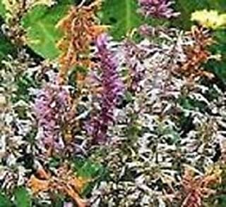 50+ Agastache Fragrant Delight Mix Flower Seeds/Perennial
