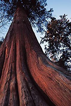 Thuja Plicata- Gigante Rojo Cedro Tree Seeds Online 50 Semillas Paquete con 1